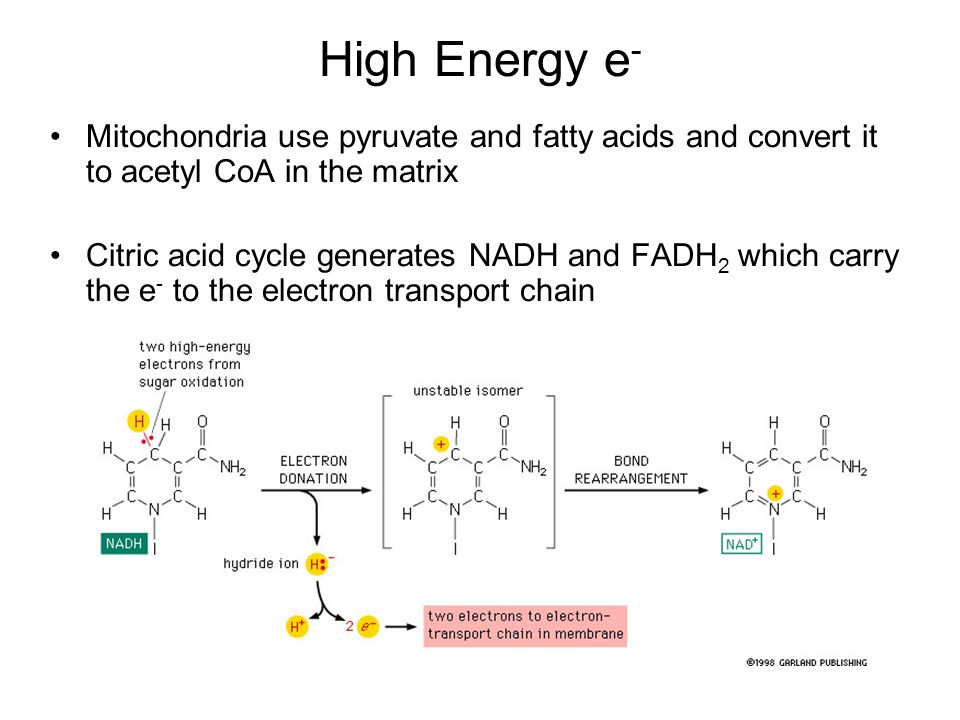 High Energy e- Mitochondria use pyruvate and fatty acids and convert it to acetyl CoA in the matrix.