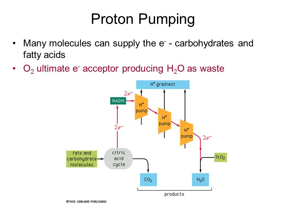 Proton Pumping Many molecules can supply the e- - carbohydrates and fatty acids.
