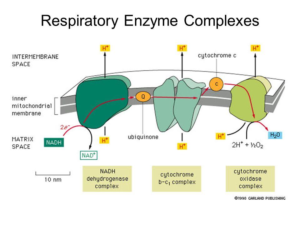 Respiratory Enzyme Complexes