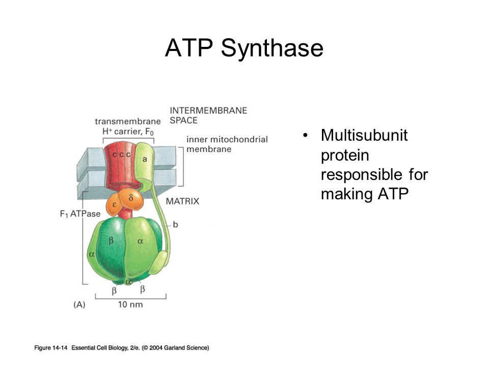 ATP Synthase Multisubunit protein responsible for making ATP
