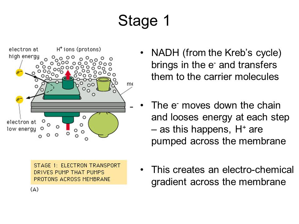 Stage 1 NADH (from the Kreb's cycle) brings in the e- and transfers them to the carrier molecules.