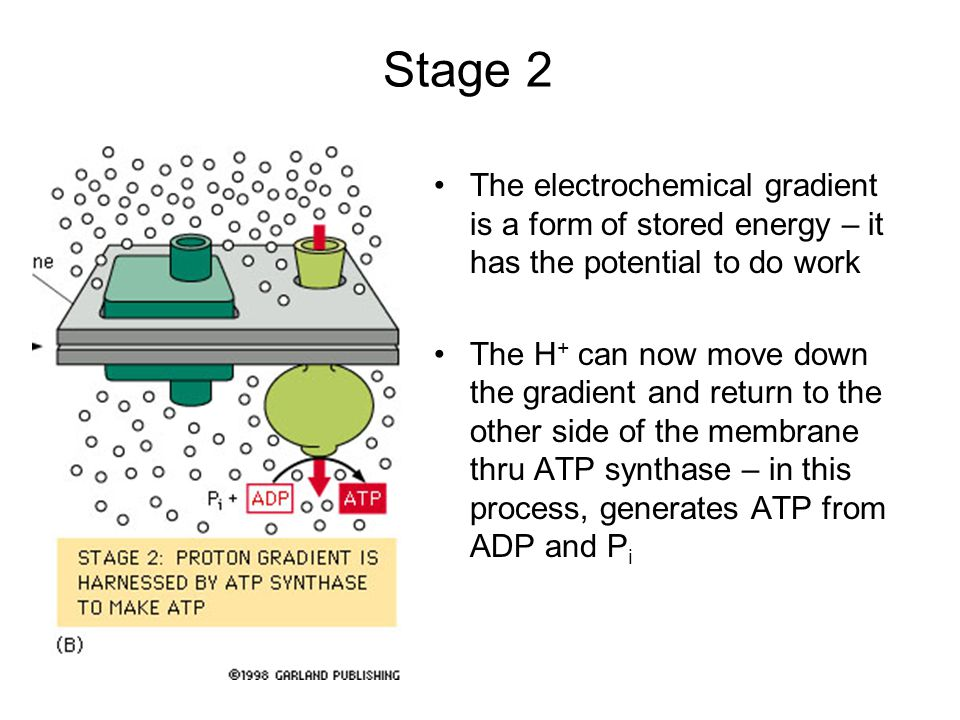 Stage 2 The electrochemical gradient is a form of stored energy – it has the potential to do work.