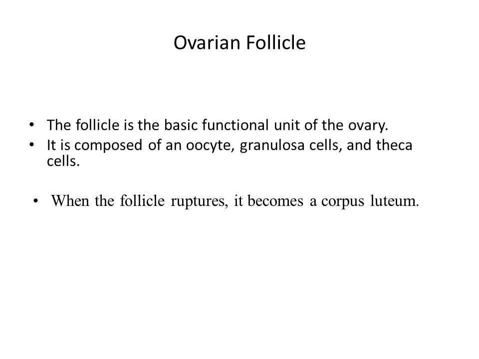 Ovarian Follicle The follicle is the basic functional unit of the ovary. It is composed of an oocyte, granulosa cells, and theca cells.
