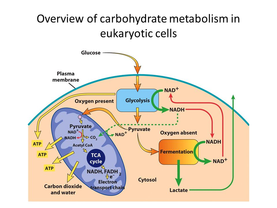 Overview of carbohydrate metabolism in eukaryotic cells