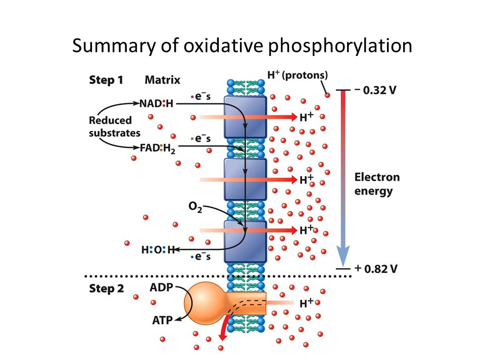 Summary of oxidative phosphorylation