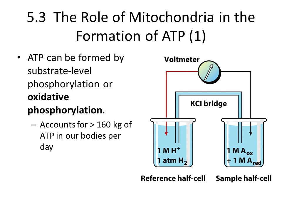 5.3 The Role of Mitochondria in the Formation of ATP (1)