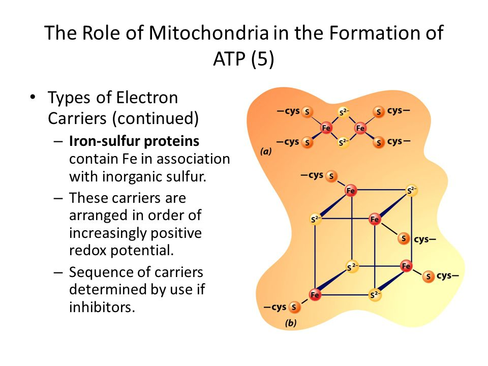 The Role of Mitochondria in the Formation of ATP (5)