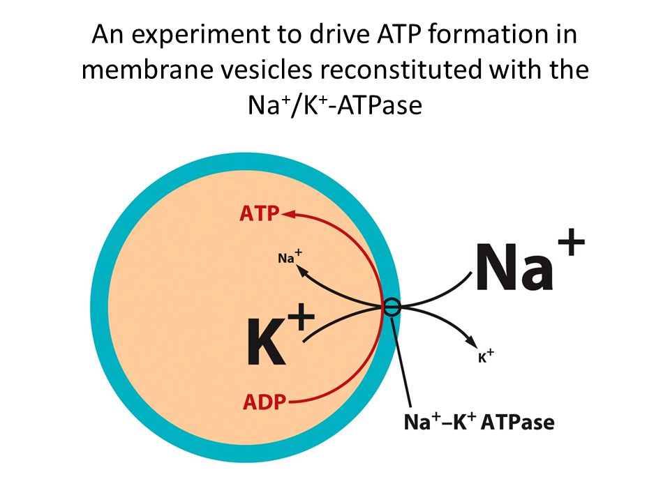 An experiment to drive ATP formation in membrane vesicles reconstituted with the Na+/K+-ATPase