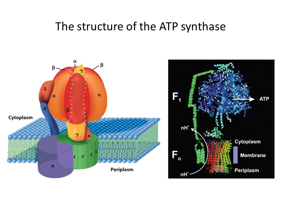 The structure of the ATP synthase