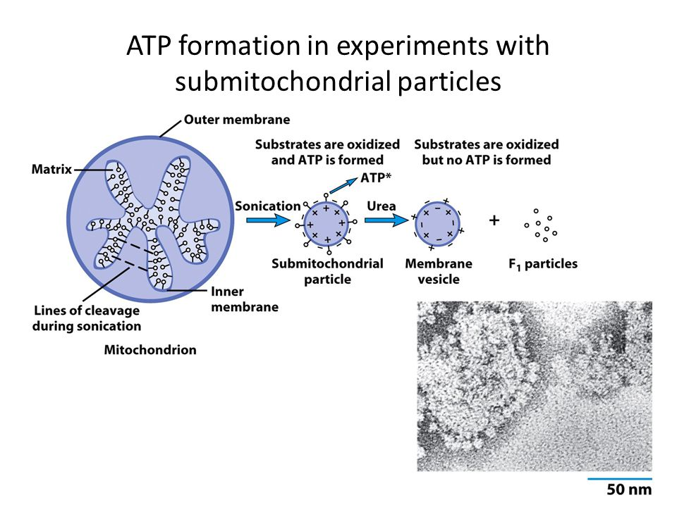 ATP formation in experiments with submitochondrial particles