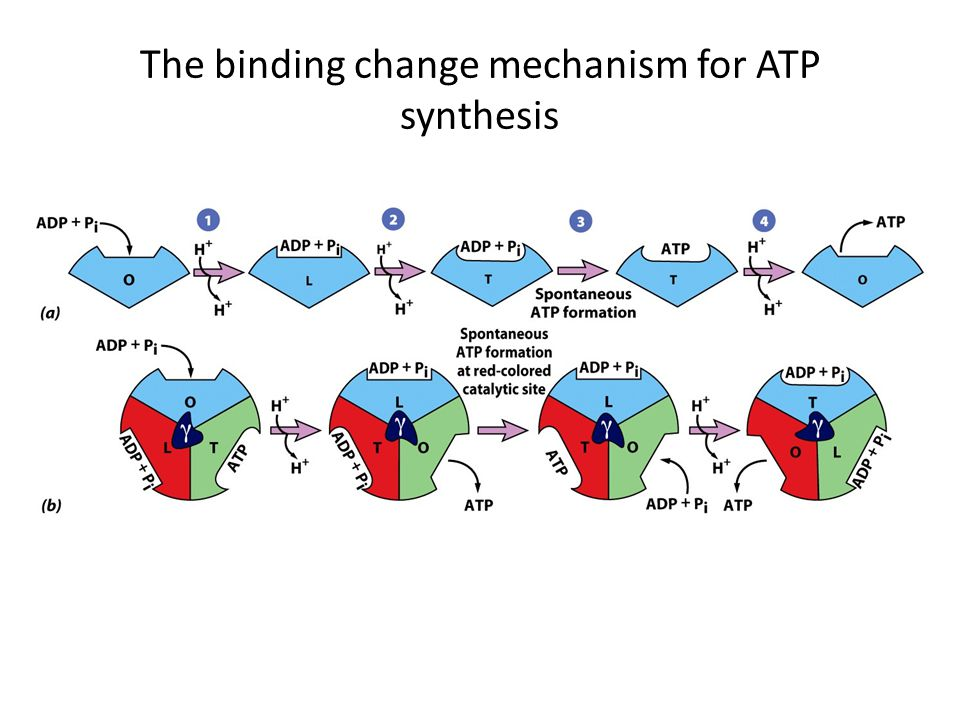 The binding change mechanism for ATP synthesis