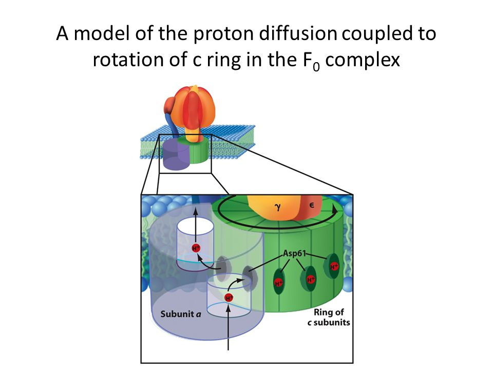 A model of the proton diffusion coupled to rotation of c ring in the F0 complex