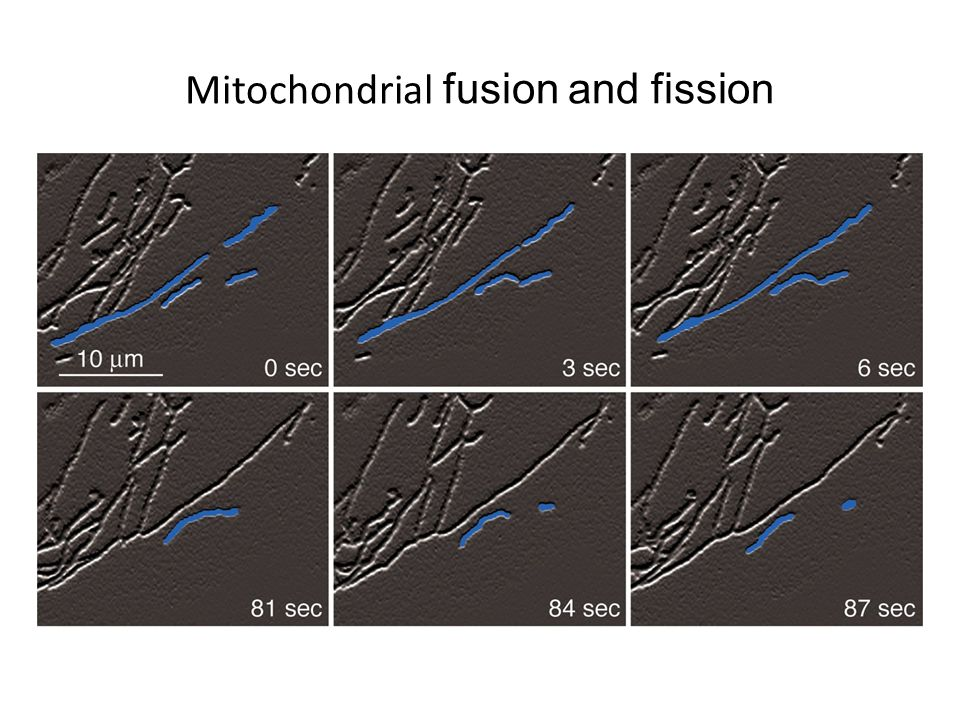 Mitochondrial fusion and fission
