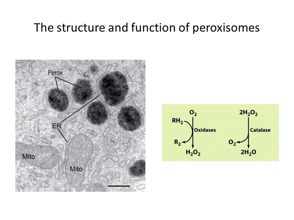 The structure and function of peroxisomes