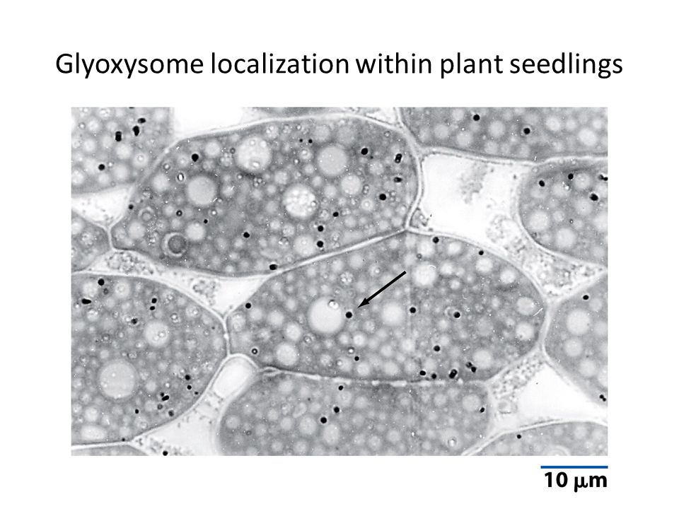 Glyoxysome localization within plant seedlings