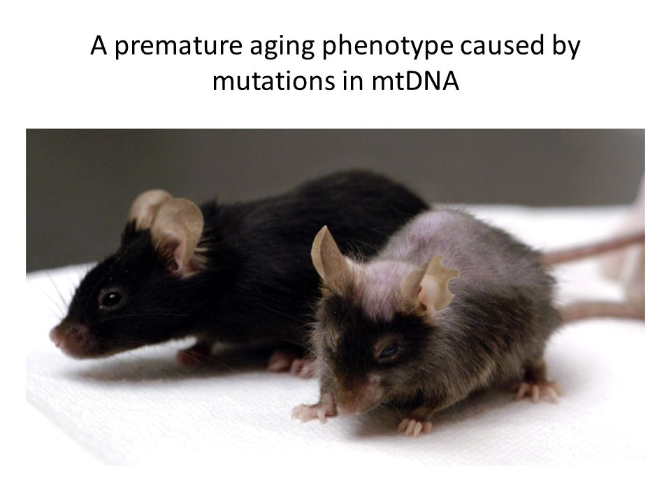 A premature aging phenotype caused by mutations in mtDNA