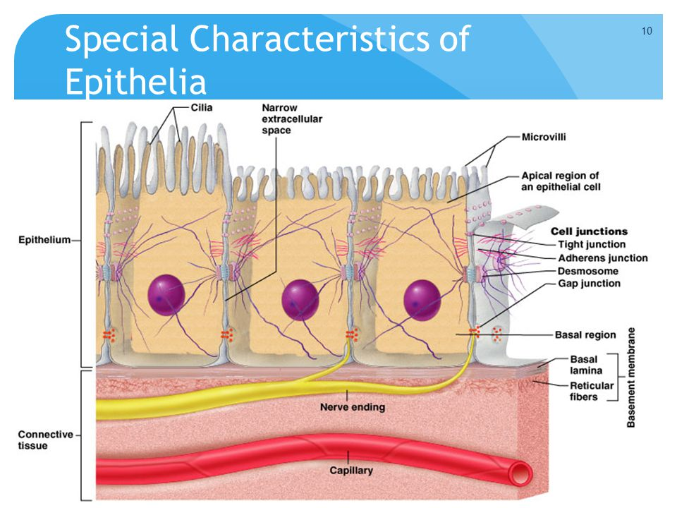 Special Characteristics of Epithelia