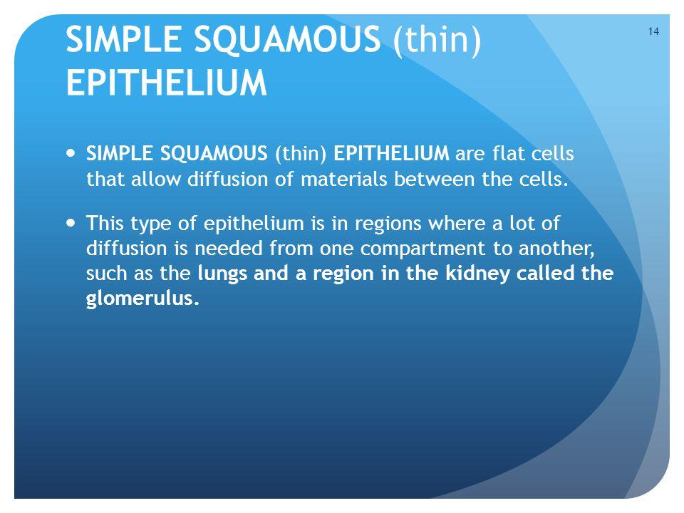 SIMPLE SQUAMOUS (thin) EPITHELIUM