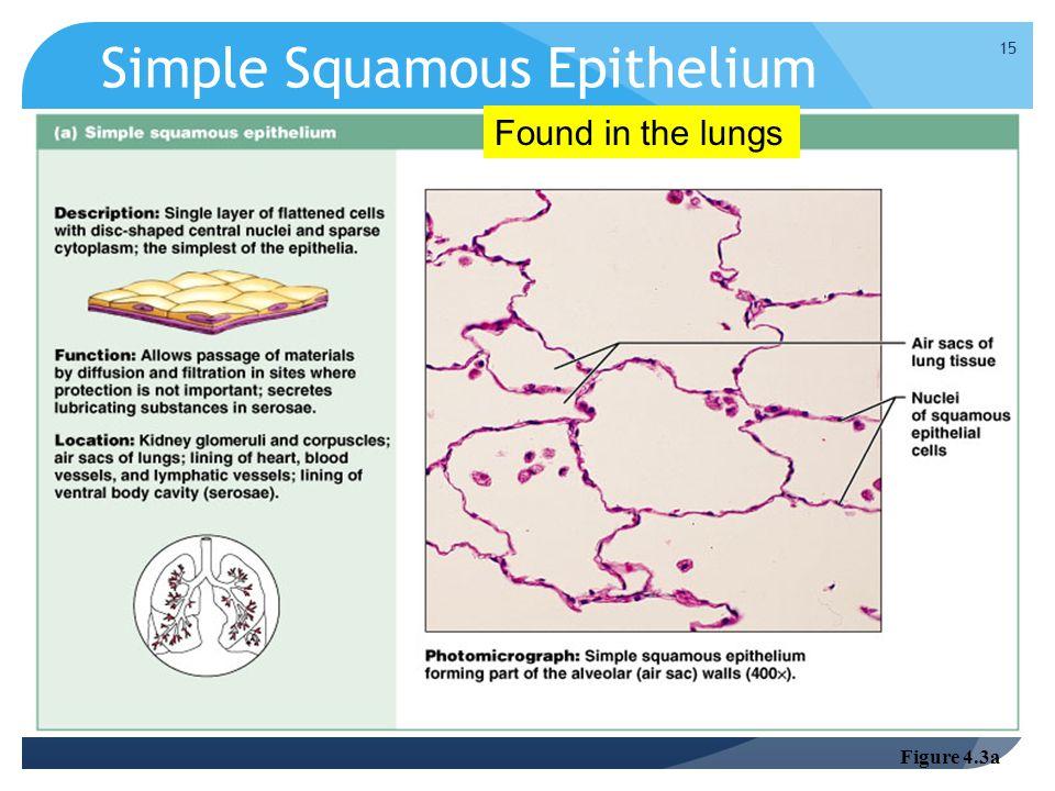 Simple Squamous Epithelium