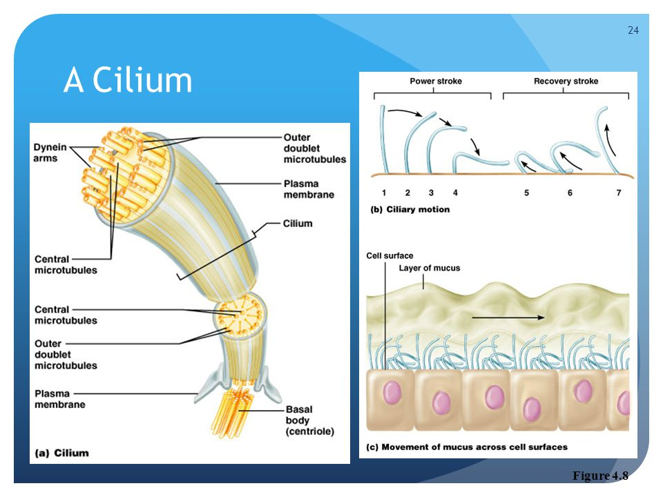 A Cilium Figure 4.8