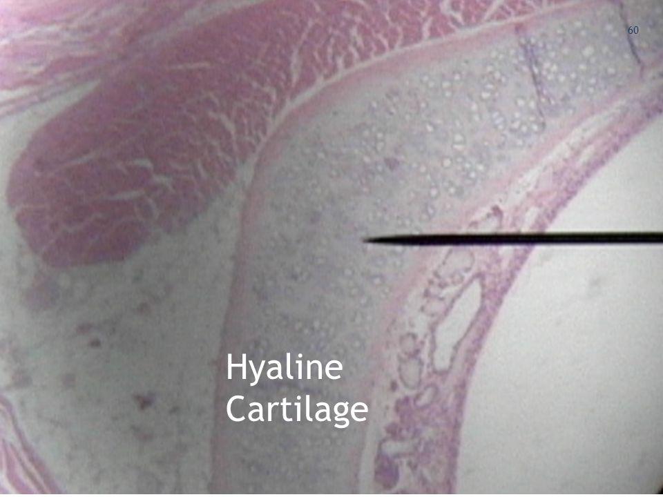 Hyaline Cartilage Hyaline Cartilage