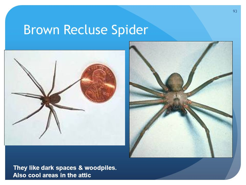 Brown Recluse Spider They like dark spaces & woodpiles. Also cool areas in the attic