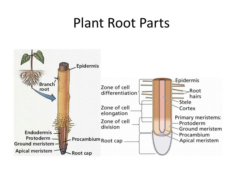 Plant Root Parts