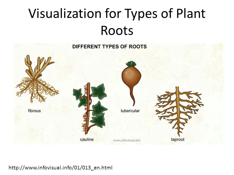 Visualization for Types of Plant Roots