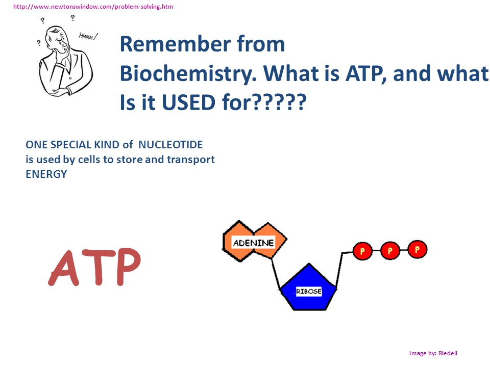 ATP Remember from Biochemistry. What is ATP, and what