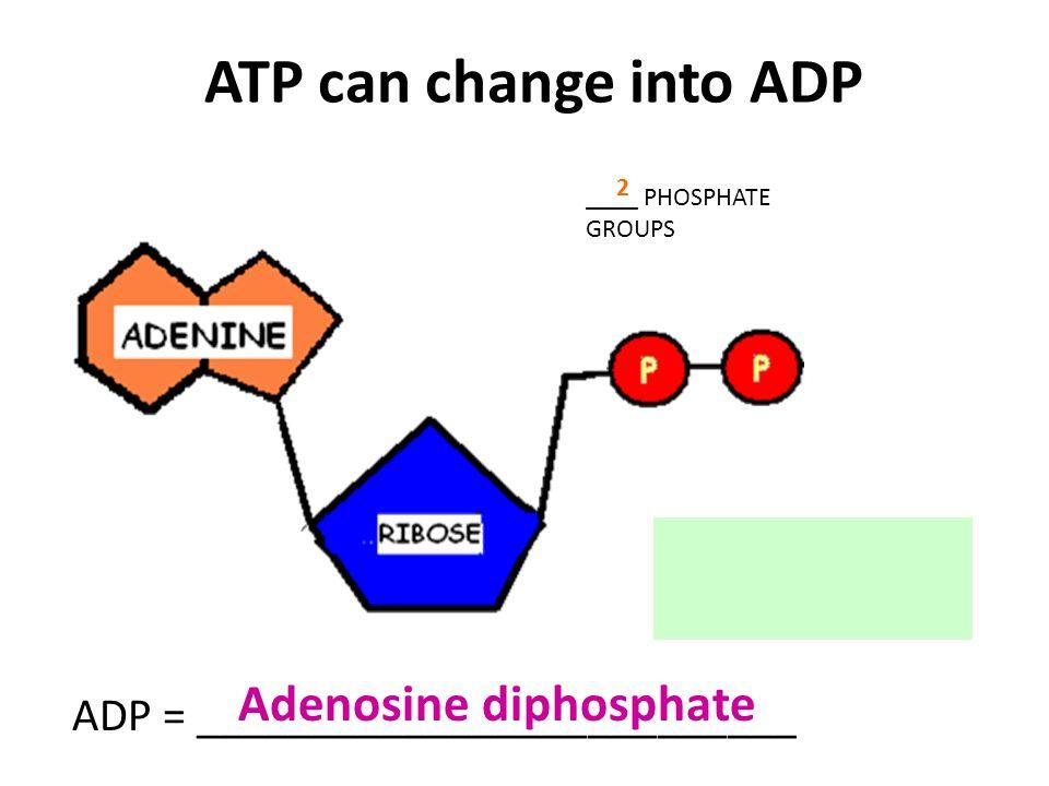 ATP can change into ADP Adenosine diphosphate