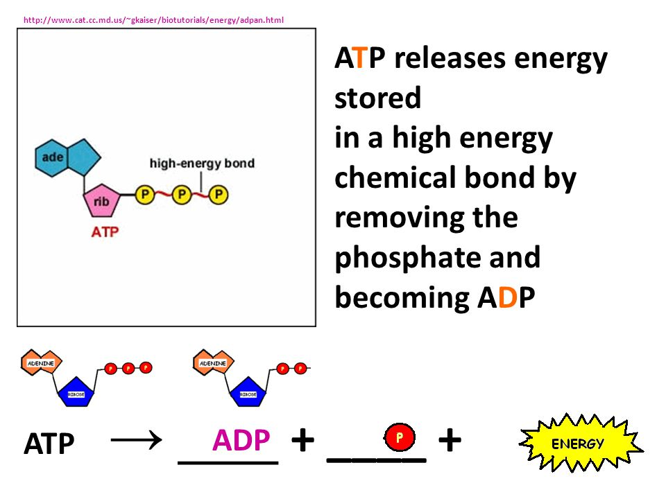 ATP releases energy stored in a high energy
