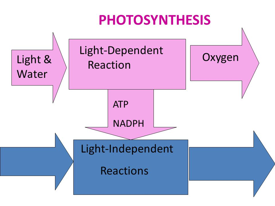 PHOTOSYNTHESIS Light-Dependent Reaction Oxygen Light & Water