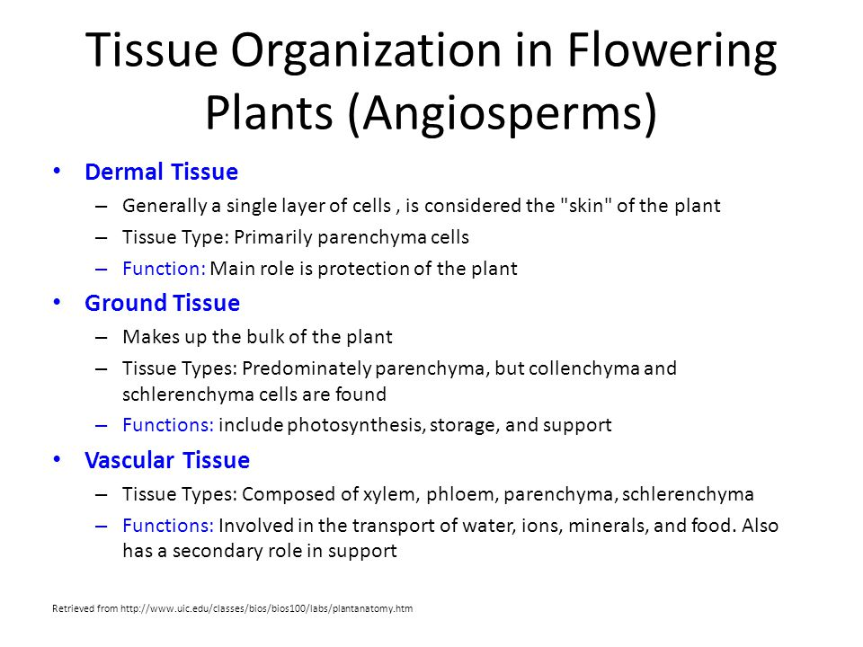 Tissue Organization in Flowering Plants (Angiosperms)