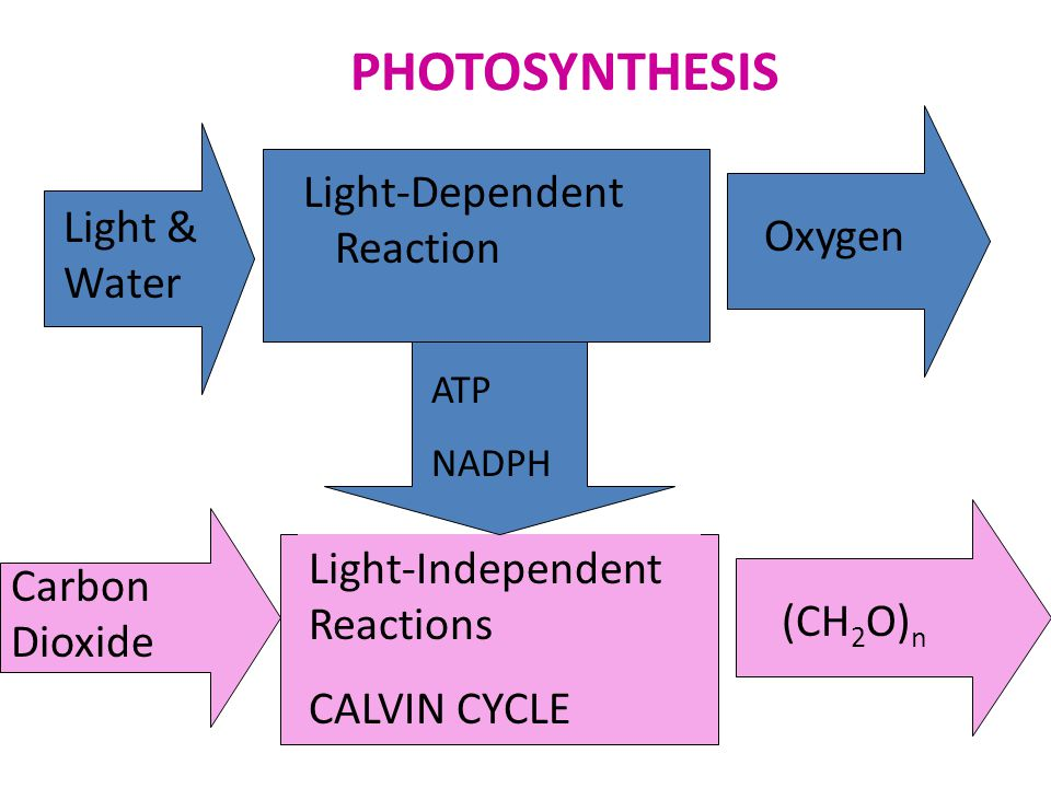 PHOTOSYNTHESIS Light-Dependent Reaction Light & Water Oxygen