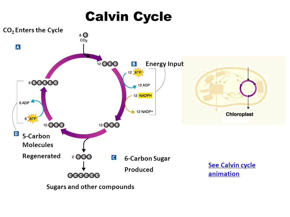 Calvin Cycle CO2 Enters the Cycle Energy Input 5-Carbon Molecules