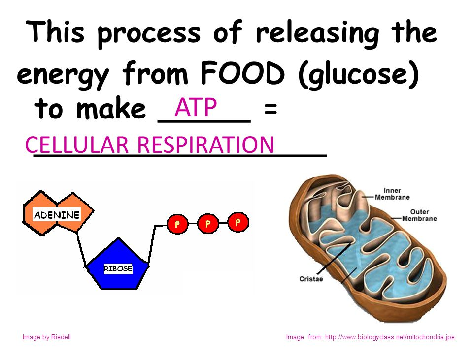 energy from FOOD (glucose) to make _____ = ________________