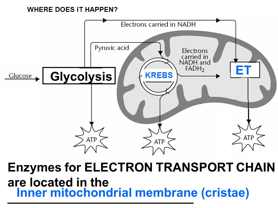 Enzymes for ELECTRON TRANSPORT CHAIN are located in the