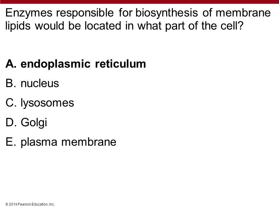 endoplasmic reticulum nucleus lysosomes Golgi plasma membrane