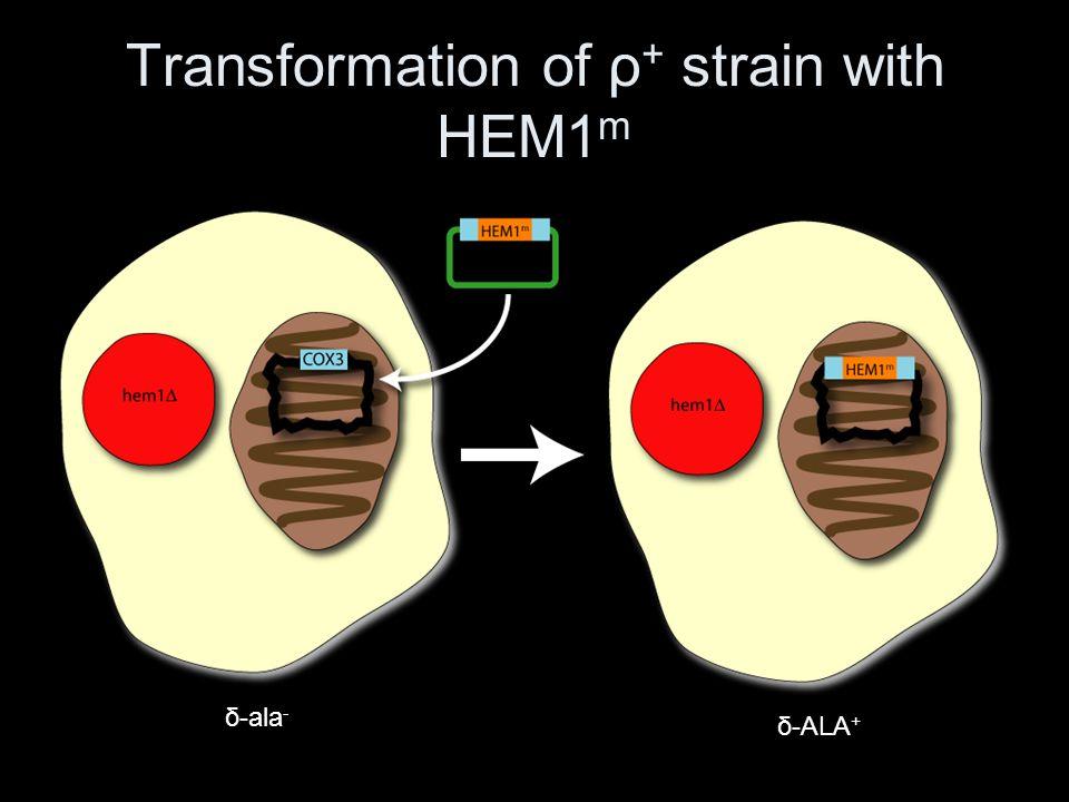 Transformation of ρ+ strain with HEM1m