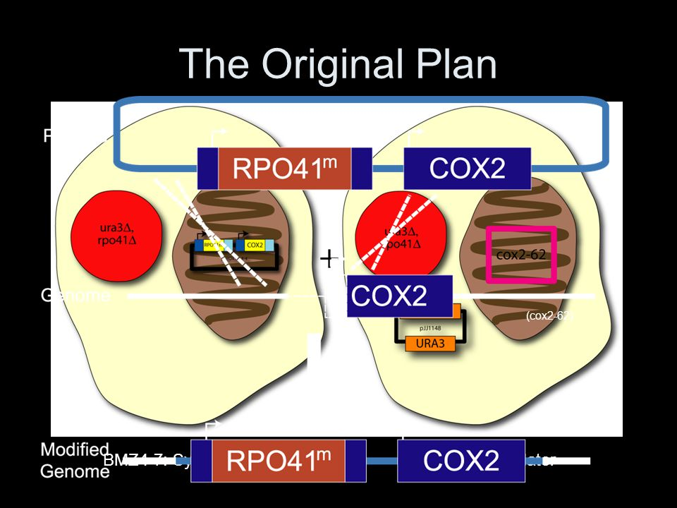 The Original Plan (cox2-62) BMZ4-7: Synthetic r- BMZ3-1: Final Mater