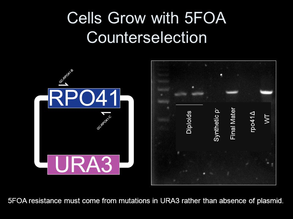Cells Grow with 5FOA Counterselection