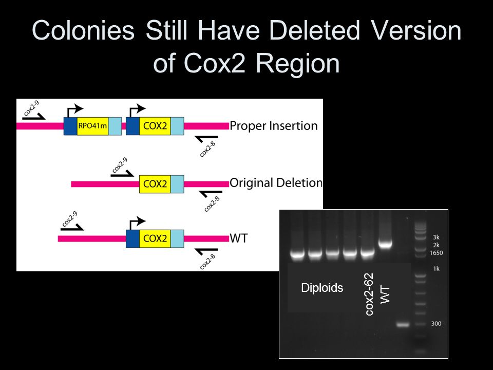 Colonies Still Have Deleted Version of Cox2 Region