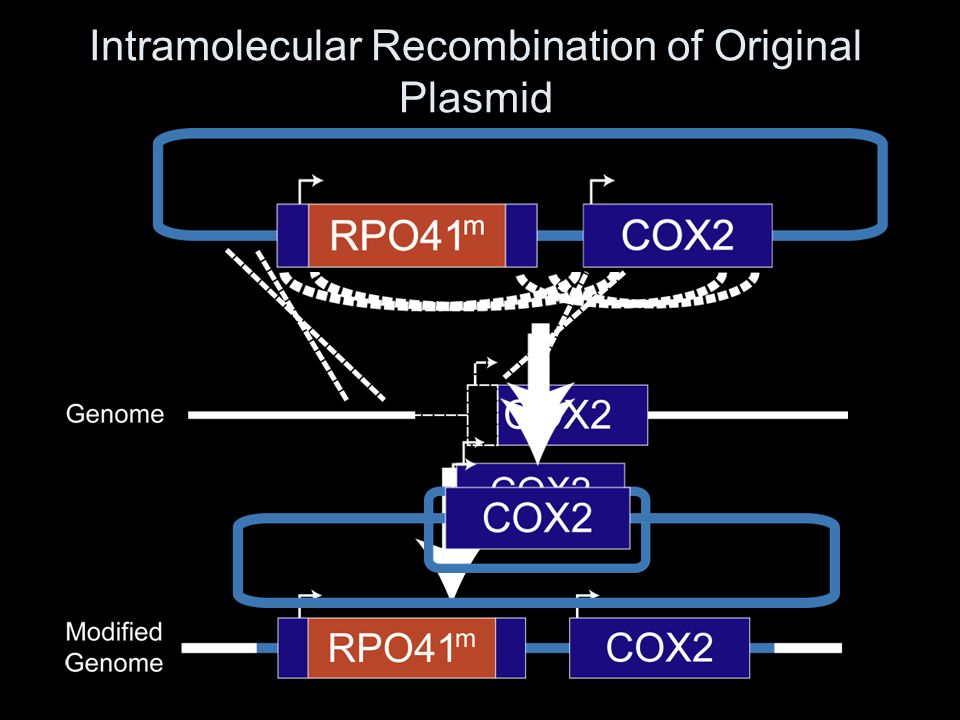 Intramolecular Recombination of Original Plasmid