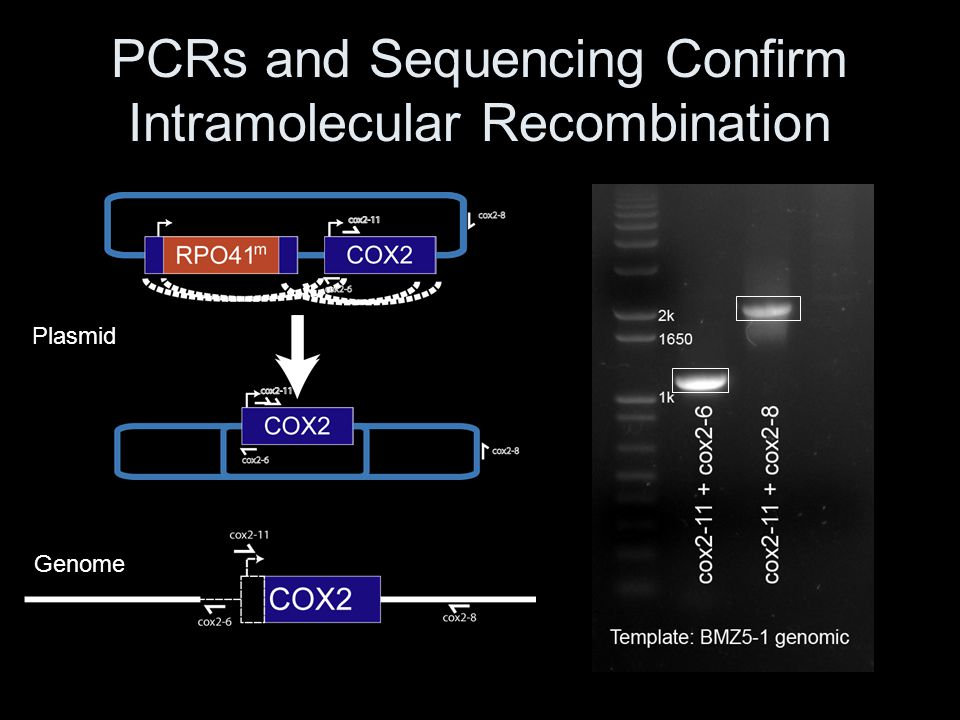 PCRs and Sequencing Confirm Intramolecular Recombination