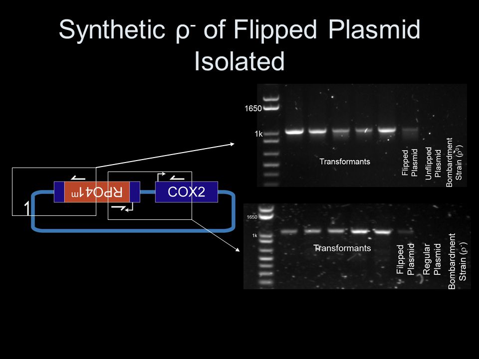 Synthetic ρ- of Flipped Plasmid Isolated