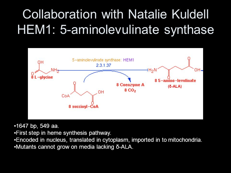Collaboration with Natalie Kuldell HEM1: 5-aminolevulinate synthase