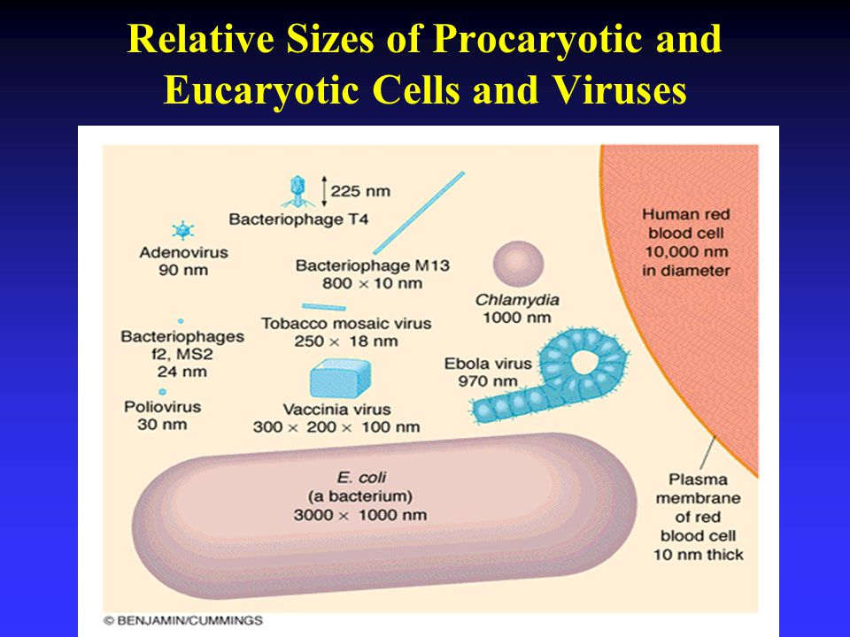 Relative Sizes of Procaryotic and Eucaryotic Cells and Viruses