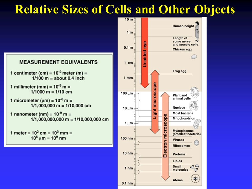 Relative Sizes of Cells and Other Objects