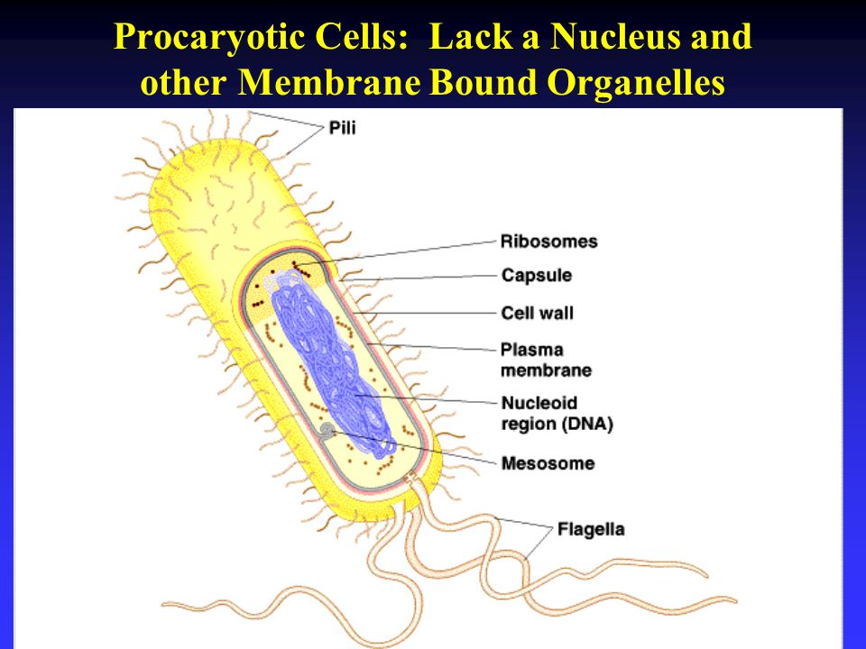 Procaryotic Cells: Lack a Nucleus and other Membrane Bound Organelles