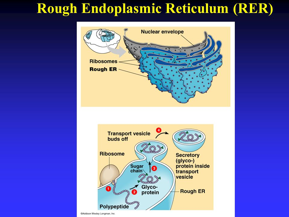 Rough Endoplasmic Reticulum (RER)